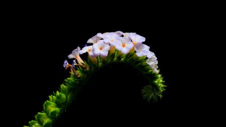 grass beautiful: little purple flower Alacransillo or Indian Heliotrope or Indian Turnsole flower