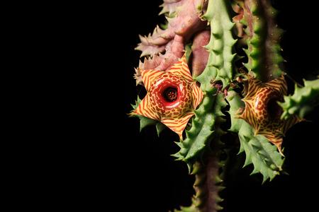 cactus flower: zebrina cactus flower