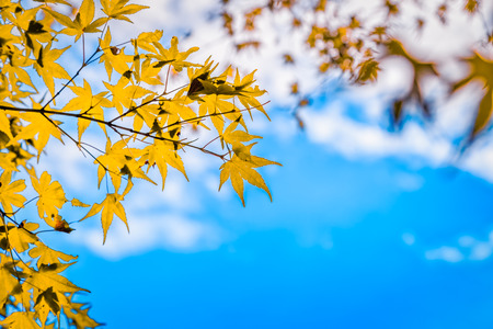 abstract maple leaves turning yellow and blue sky background, selective focus Stok Fotoğraf