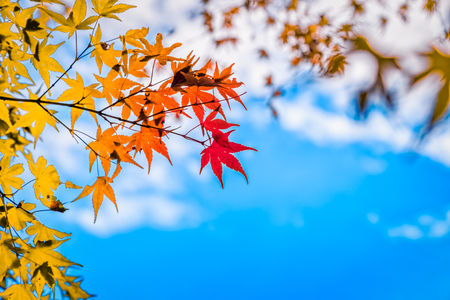 abstract maple leaves turning red and blue sky background, selective focus