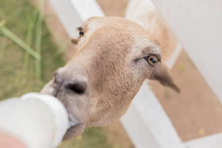 zoo youth: sheep in the farm is eating milk