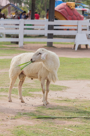 zoo youth: sheep is standing on pasture in the farm Stock Photo