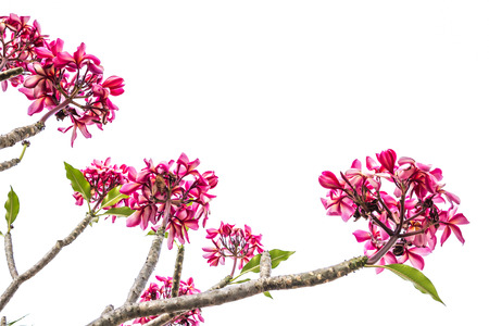 ornage: pink and ornage frangipani bouquet flower on white background