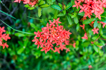 stamin: Rubiaceae bouquet flower in vivid tone