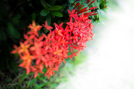 stamin: Rubiaceae flower with white space for write text Stock Photo