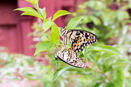 faisant l amour: Couple papillon sont �levage ou faire l'amour
