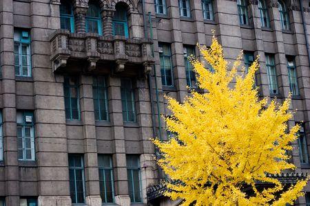 明るい黄色の銀杏の木は、京都、日本の公共建物の前に残します。