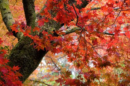 brilliantly: Brilliantly lit fall leaves in Kyoto, Japan. Stock Photo