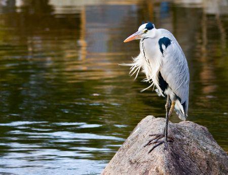 エキゾチックな探している、日本の京都での池の岩の上に座っている吹きさらしの鳥。