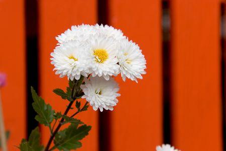 白い京都の裏にオレンジ色の神社塀に咲く花。 写真素材