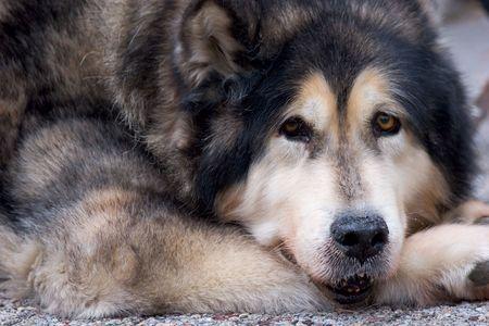 可能なドイツ語羊飼いの mix 犬の顔。