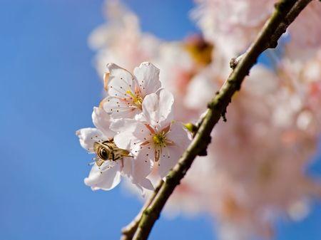京都の桜に蜂。 写真素材