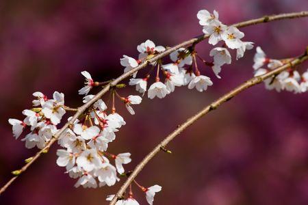 桜の花京都、日本。 写真素材