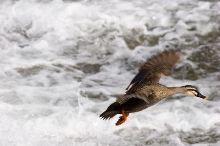 京都、日本の川の上に着陸のアヒル。 写真素材