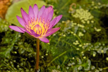 pink lotus: beautiful pink lotus blooming