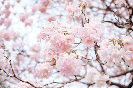 Pink trumpet tree.