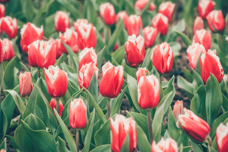 glum: Red tulip flowers in the garden, soft focus and retro look in spring time. Stock Photo