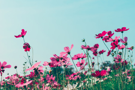 glum: Pink and red cosmos flowers garden, soft focus and retro film look in warm color tone Stock Photo