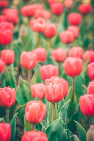 fall winter: Red tulip flowers in the garden, soft focus and retro look in spring time. Stock Photo