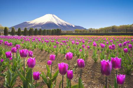 Fuji Mountain and Tulip Garden at Hananomiyako-koen Garden, Yamanakako Lake, Japan