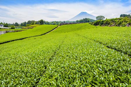 Fuji Mountain and Tea Plantation in Summer  at Shizuoka, Japan