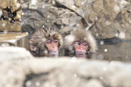 Snow Monkey bathing in Onsen at Jigokudai Monkey Park