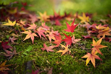 Colourful Maple Leaves at Kyoto Temple Фото со стока