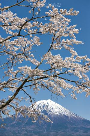 Fuji Mountain and Sakura Branches with Blue Sky Day at Tanukiko Lake, Japan