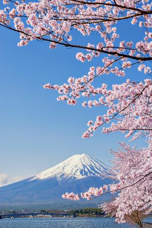 Fuji Mountain and Sakura Branches at Kawaguchiko