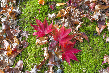 Red Maple Leaves, Kyoto, Japan