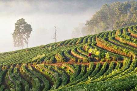 Tea Plantation at Angkhang Mountain, Chiangmai