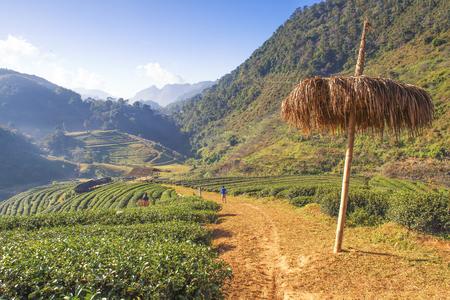 Angkhang Terrace Tea Plantation  at Chiangmai, Thailand