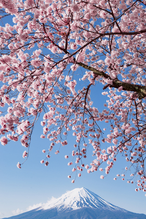 Pink Sakura Branches with Fuji Mountain Background Фото со стока