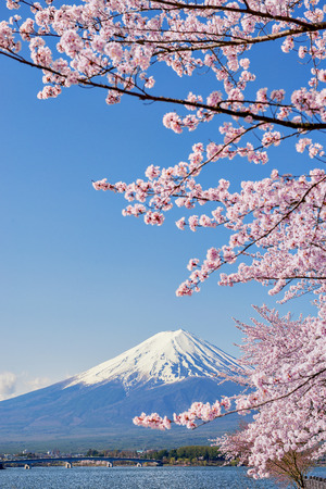 Fuji Mountain and Pink Sakura Branches with Blue Sky at Kawaguchiko