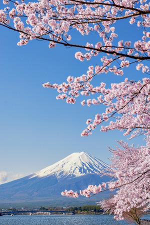 Fuji Mountain and Pink Sakura Branches with Blue Sky at Kawaguchiko Stock Photo - 82931583