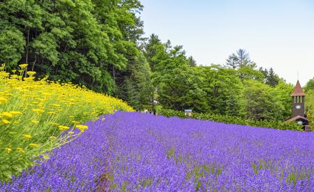 Lavender Field at Tomita Farm in Summer, Furano, Hokkaido, japan