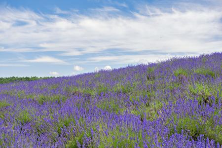 Lavender Field at Tomita Farm in Summer, Hokkaido, Japan