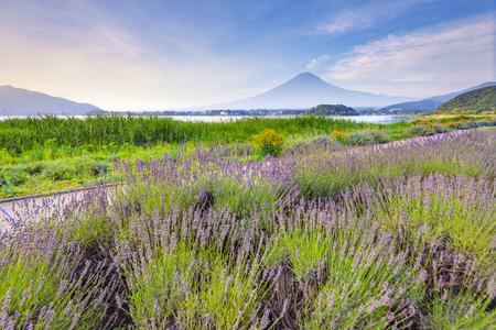 Fuji Mountain and Lavender Field at Oishi Park,KAwaguchiko Lake, Japan Фото со стока