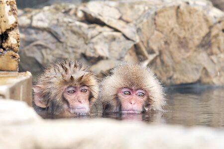 Snow Monkeys take a bath in Hot Natural Onsen at Jigokudani Snow Monkey Park, Nagano, Japan in Winte