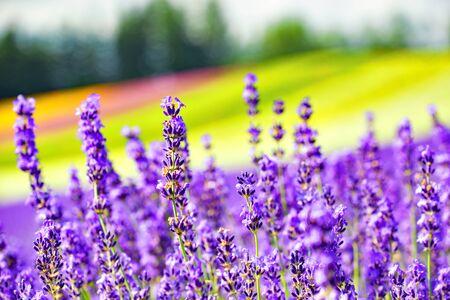 Lavender Flower with Colourful Flower Garden Background in Summer at Tomita Farm, Furano, Hokkaido, Japan Foto de archivo