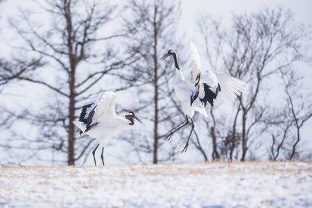 Japanese Red Crowned Cranes on Snow Hill in Winter, Kushiro, Hokkaido, Japan