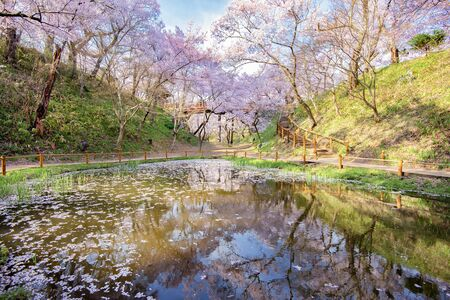 Thousands of Pink Sakura Trees reflection in Small Ponds at Takato Castle Ruins Park in Springtime, Ina, Nagano