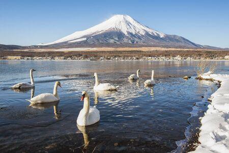 Fuji Mountain and Swans at Yamanakako Lake in Winter, Japan