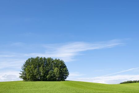 Mild Seven Hills Group of Pine Trees on Green Hill in Summer Blue Sky Day. Biei Patchwork Road, Biei, Hokkaido, Japan
