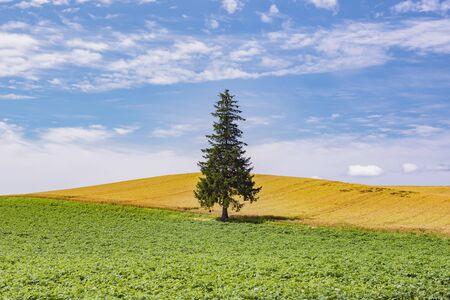 Alone Famous Christmas Pine Tree in Summer at Biei Patchwork Road, Hokkaido, Japan