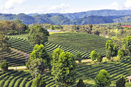 Scenic view of Terrace Tea Plantation with Coffee Shop on the Hill of Chui Fong Tea Plantation, One of Tourist Destination at Chiang Rai Province Foto de archivo
