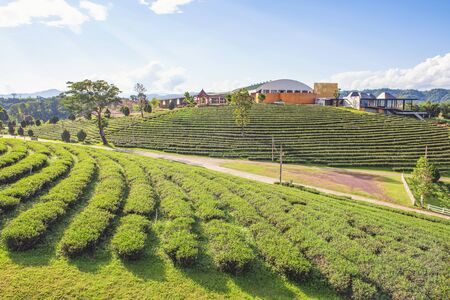 Scenic view of Terrace Tea Plantation with Coffee Shop on the Hill of Chui Fong Tea Plantation, One of Tourist Destination at Chiang Rai Province Foto de archivo - 150514986