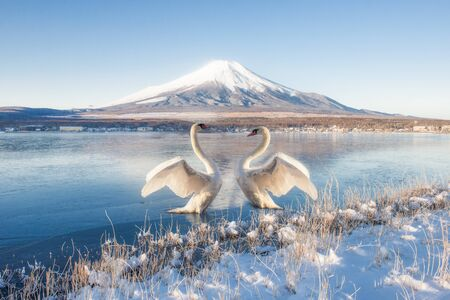 Fuji Mountain Reflection and Two Swans at Yamanakako Lake in Winter, Japan Foto de archivo - 150515551