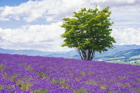 Alone Tree among Lavender Field in Summer at Hinode Park, Furano, Hokkaido, Japan