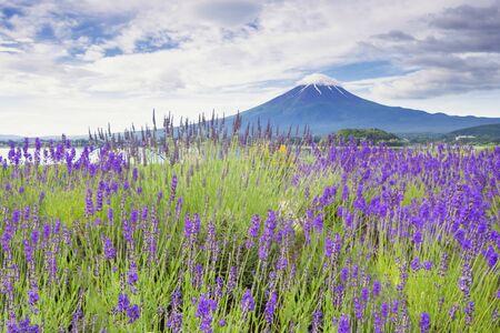 Fuji Mountain and Lavender Field at Oishi Park, Kawaguchiko Lake, Japan Foto de archivo